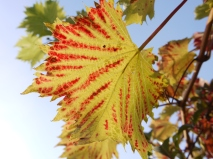 Red Veined Grape Vine Leaf
