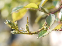 Rose Leaves in Profile with Aphids
