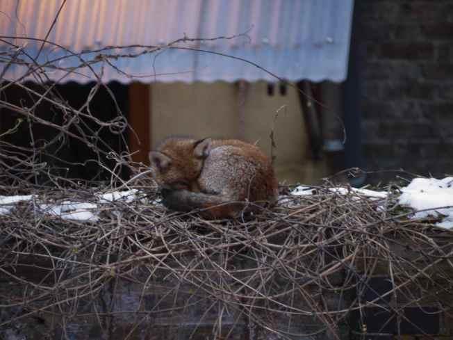 Cold Fox