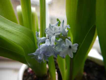 The defiant hyacinth