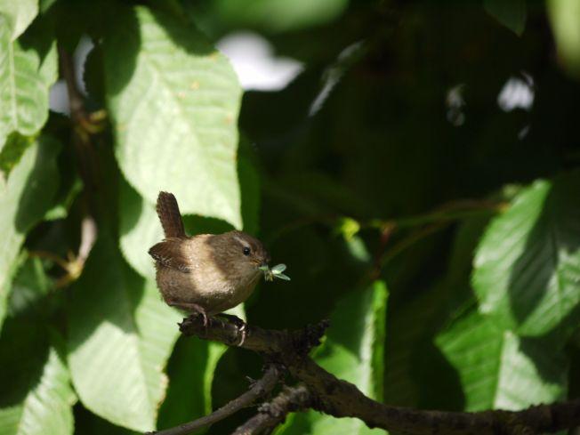 Wren in Cherry tree