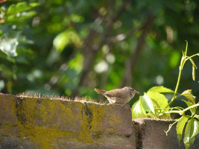 Wren on the Wall