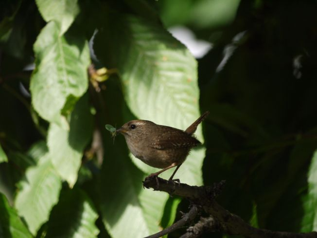 Wren with Insect