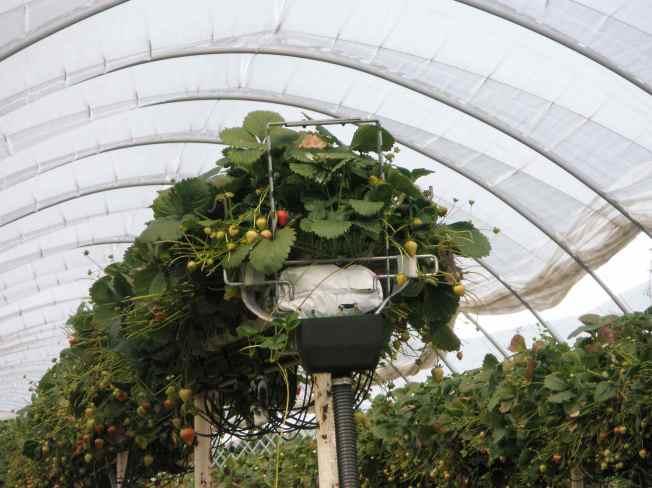 High Rise Strawberry