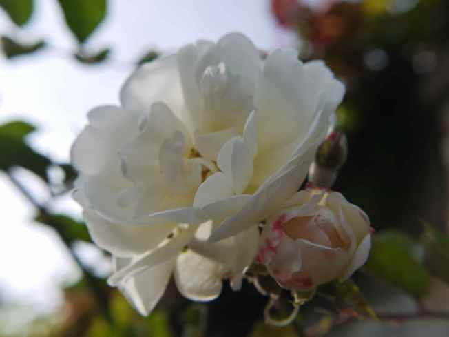Autumn White Rose