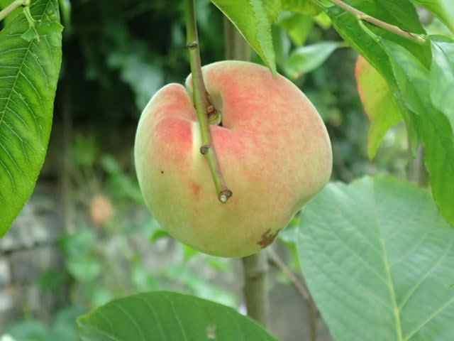 Kirsty's Peach