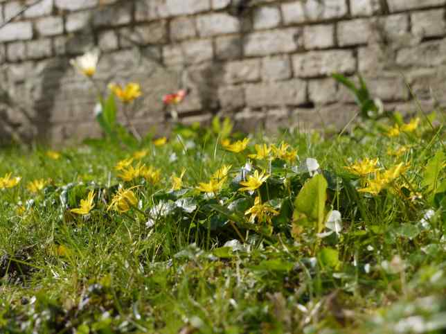 Celandines and Tulips