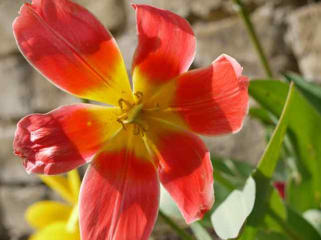 Overblown Red Tulip