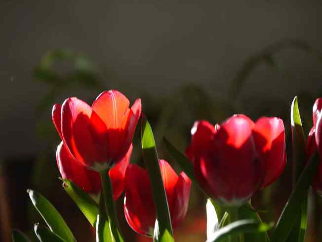 Tulips and Sunlight