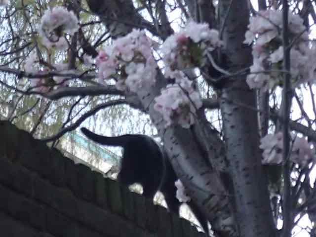 Bad Photo of Grey Ninja and Pink Blossom