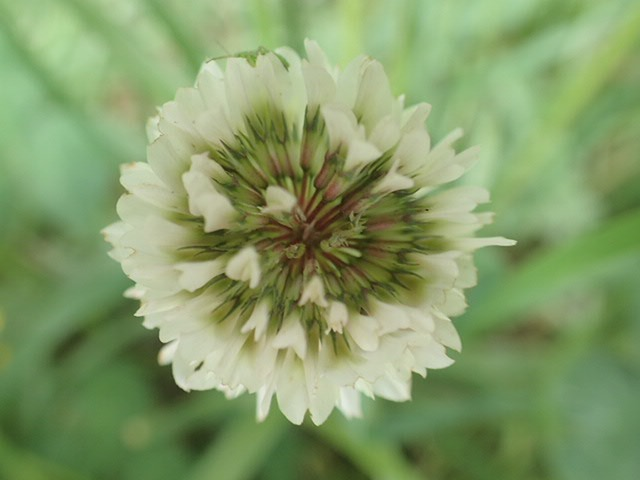 Beautiful clover