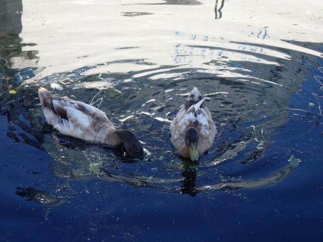 Brown Ducks