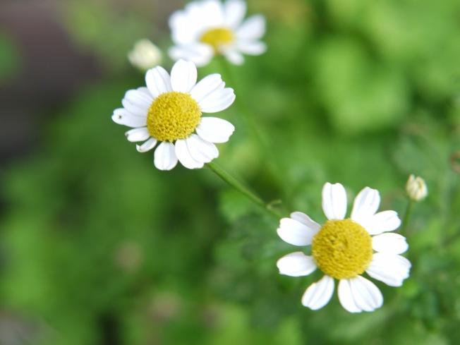 Daisy curve