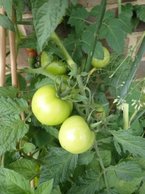 green tomatoes which will be red