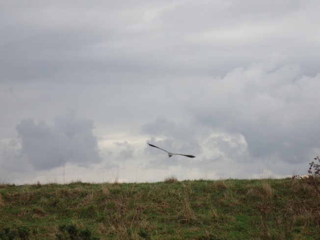 Heron with outstretched wings