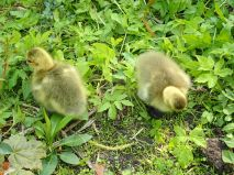 Two of the goslings